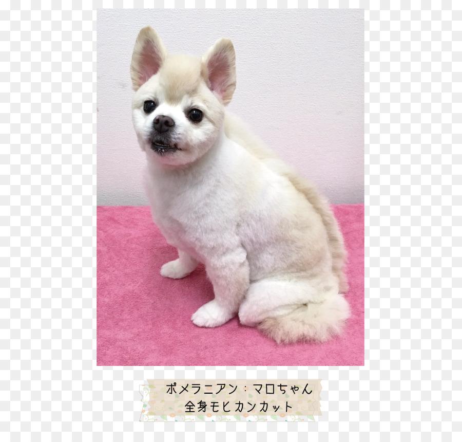 Descarga gratuita de Chihuahua, Pomerania, Cachorro imágenes PNG