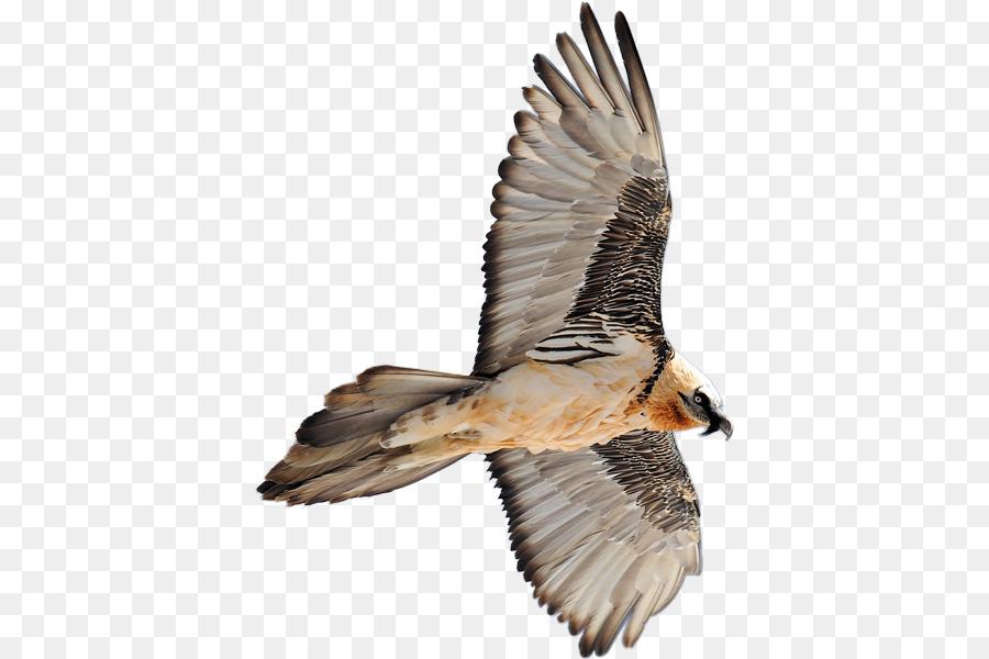 Descarga gratuita de Hawk, Pájaro, Buitre Imágen de Png