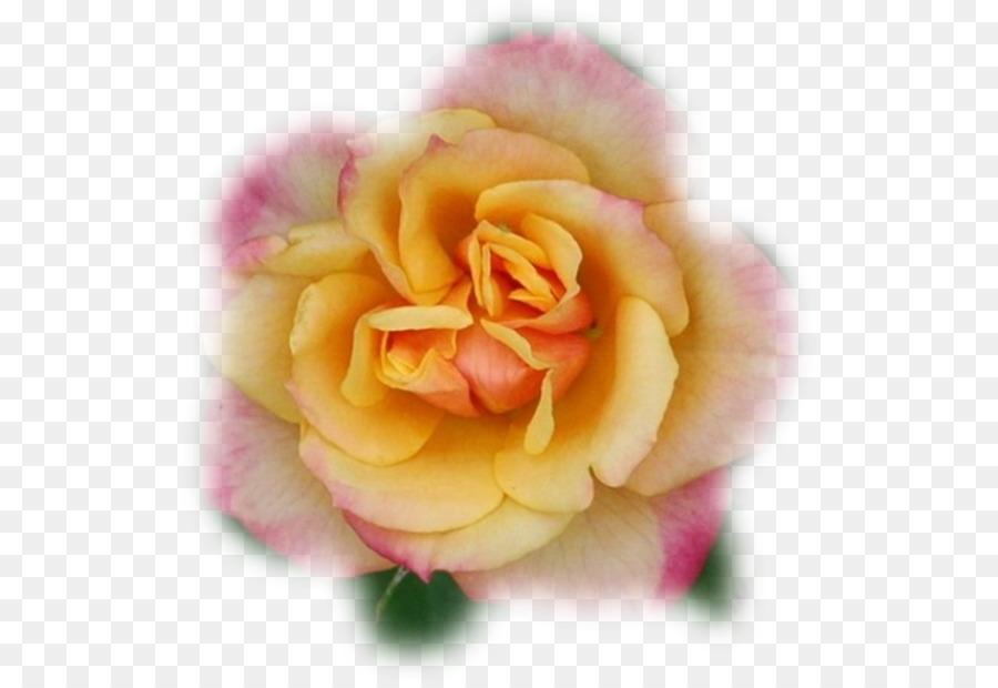 Descarga gratuita de Floribunda, Col Rosa, Las Rosas De Jardín Imágen de Png