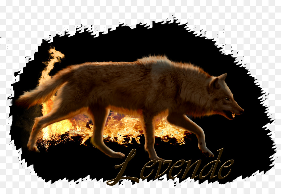 Descarga gratuita de Zorro Rojo, Coyote, Lobo Gris imágenes PNG
