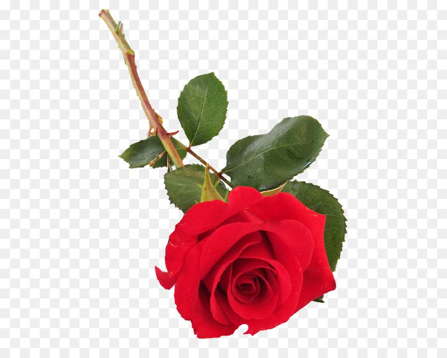Descarga gratuita de Las Rosas De Jardín, Col Rosa, Floribunda imágenes PNG