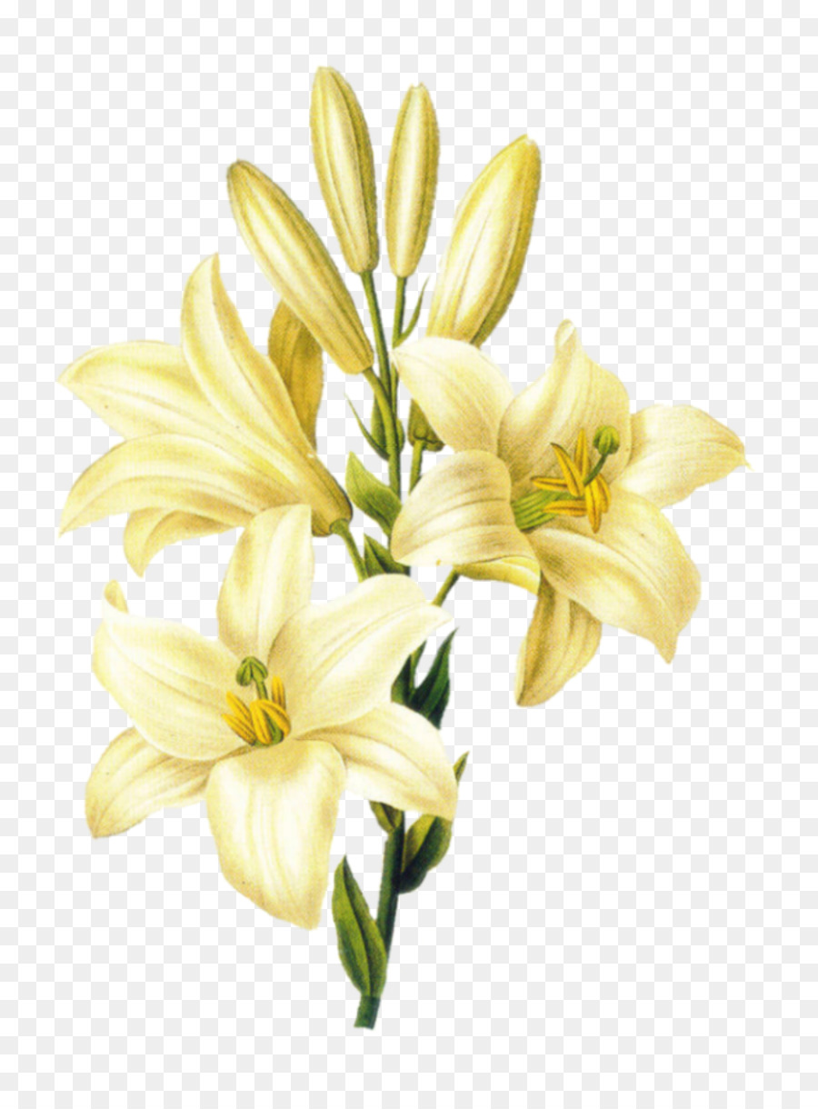 Descarga gratuita de Madonna Lily, Flor, Lirio De Pascua Imágen de Png