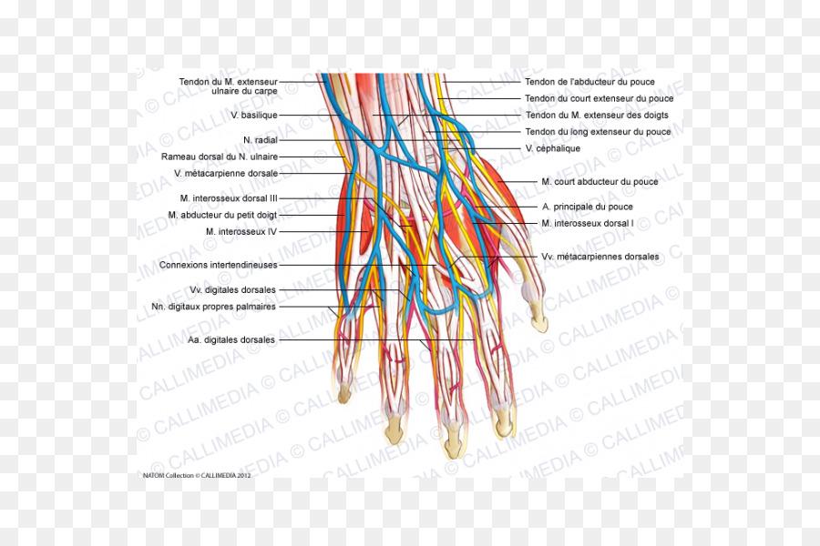 vasos sanguineos en la mano