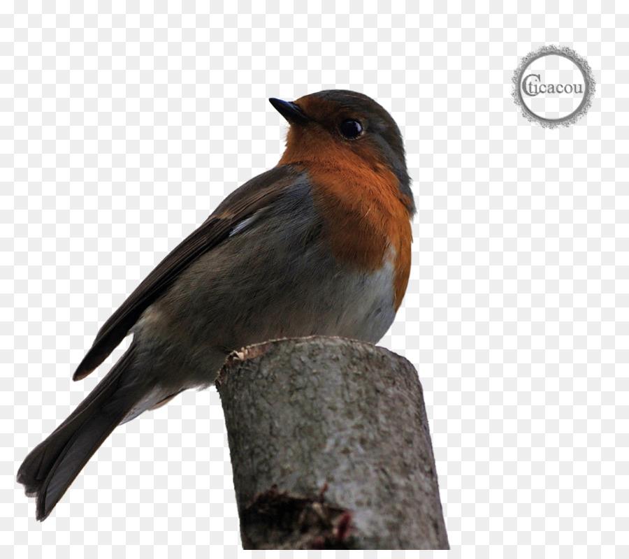 Descarga gratuita de Europea Robin, Tragar, Gorriones Americanos Imágen de Png