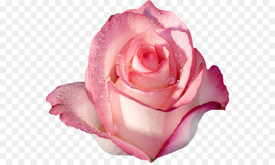 Descarga gratuita de Rosa, Fondo De Escritorio, Flor imágenes PNG
