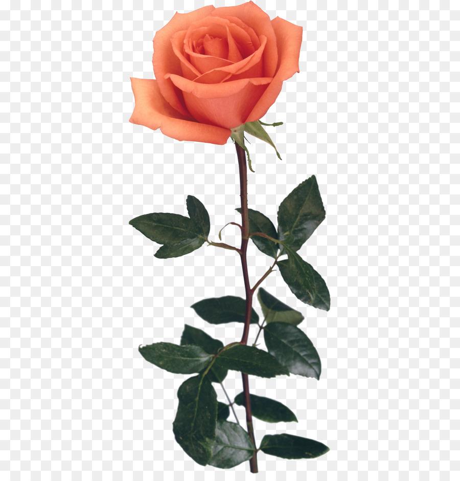 Descarga gratuita de Las Rosas De Jardín, Flor, Rosa Beach imágenes PNG