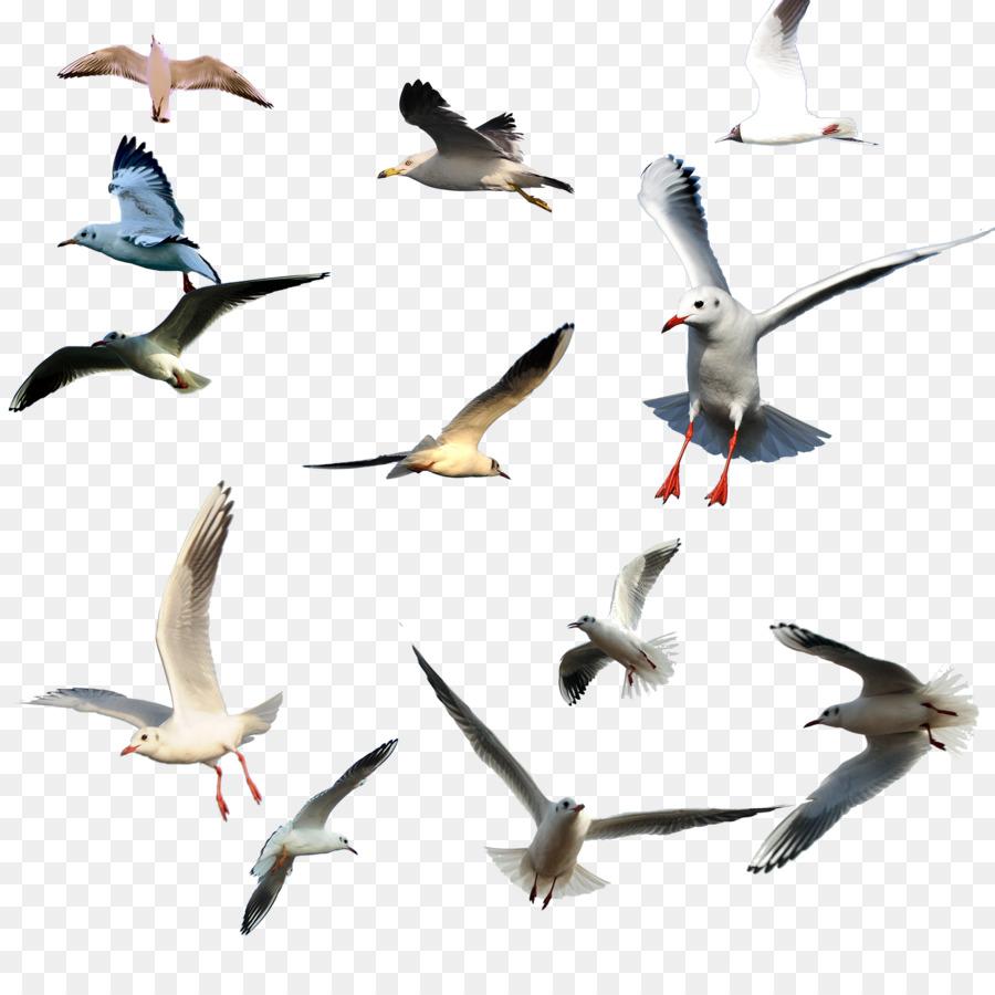 Descarga gratuita de Aves, Vuelo, Las Gaviotas Imágen de Png