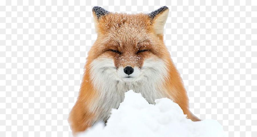 Descarga gratuita de Zorro ártico, ártico, Fox Imágen de Png