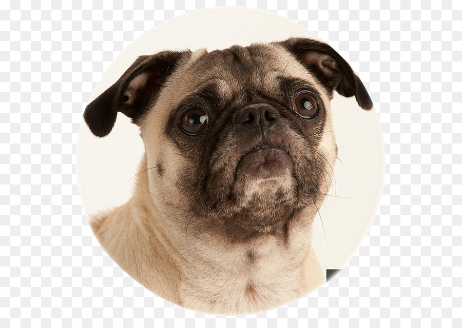 Descarga gratuita de Pug, Cachorro, Raza De Perro imágenes PNG