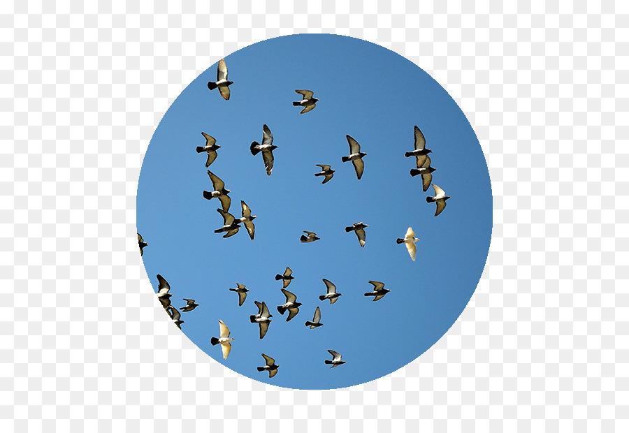 Descarga gratuita de Aves, Paloma Nacional, Columbidae Imágen de Png