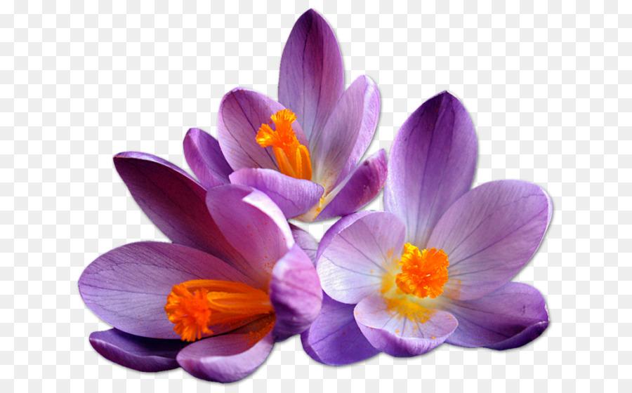 Descarga gratuita de Azafrán, Flor, Descargar Imágen de Png