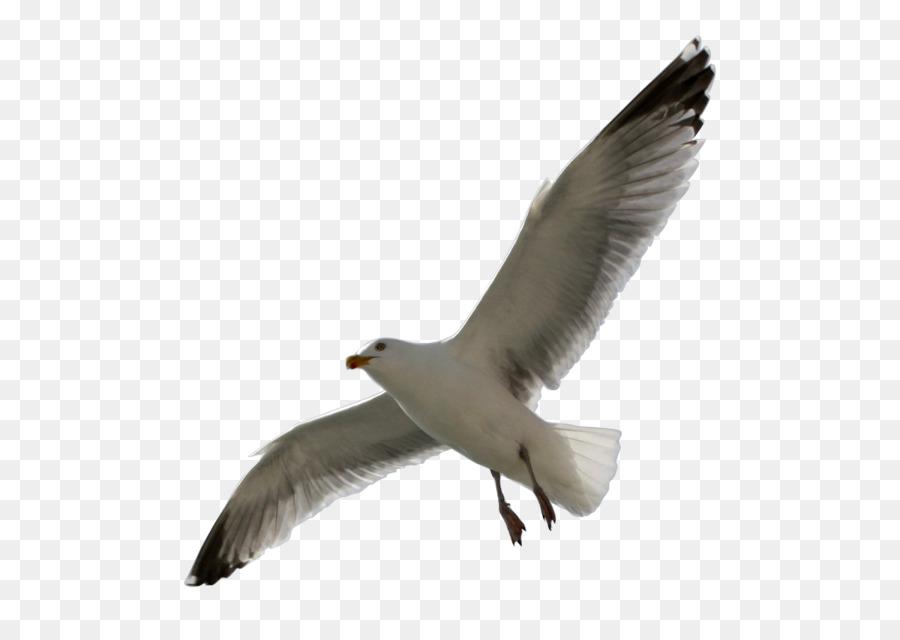 Descarga gratuita de Europea De La Gaviota, Las Gaviotas, Aves Imágen de Png