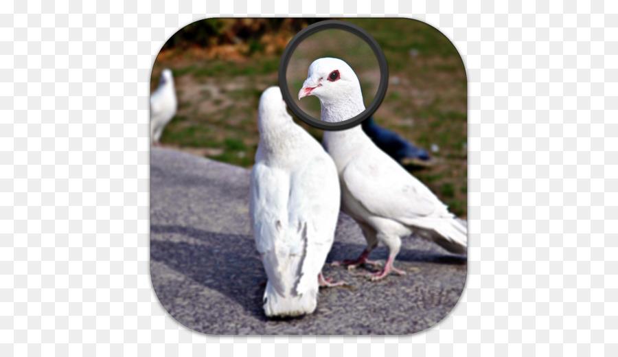 Descarga gratuita de Columbidae, Pico, Aves Imágen de Png