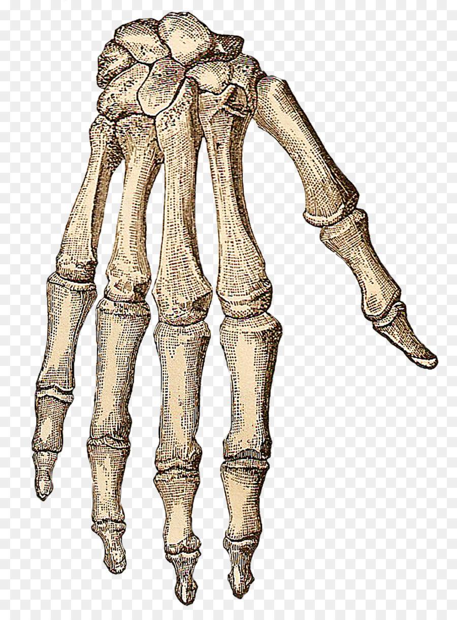 Descarga gratuita de Esqueleto Humano, Cuerpo Humano, De La Mano Imágen de Png