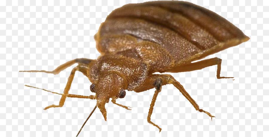 Los Insectos Las Chinches De Cama El Control De Las