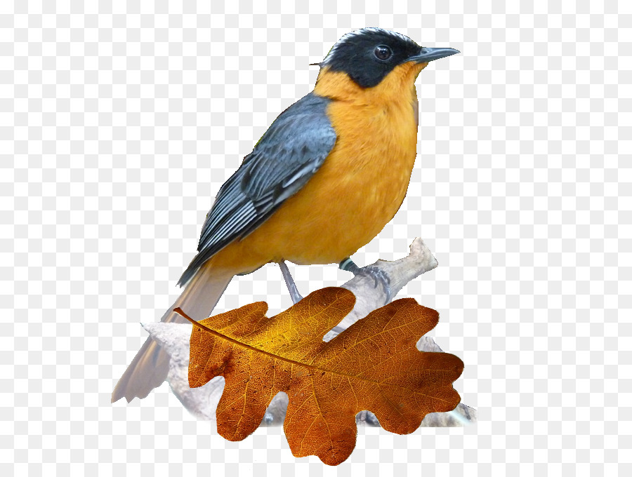 Descarga gratuita de Pico, Aves, Viejo Mundo Imágen de Png