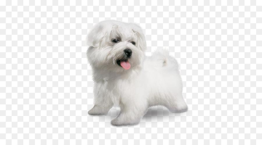 Descarga gratuita de El Coton De Tulear, Pequeño Perro León, Havanese Perro Imágen de Png