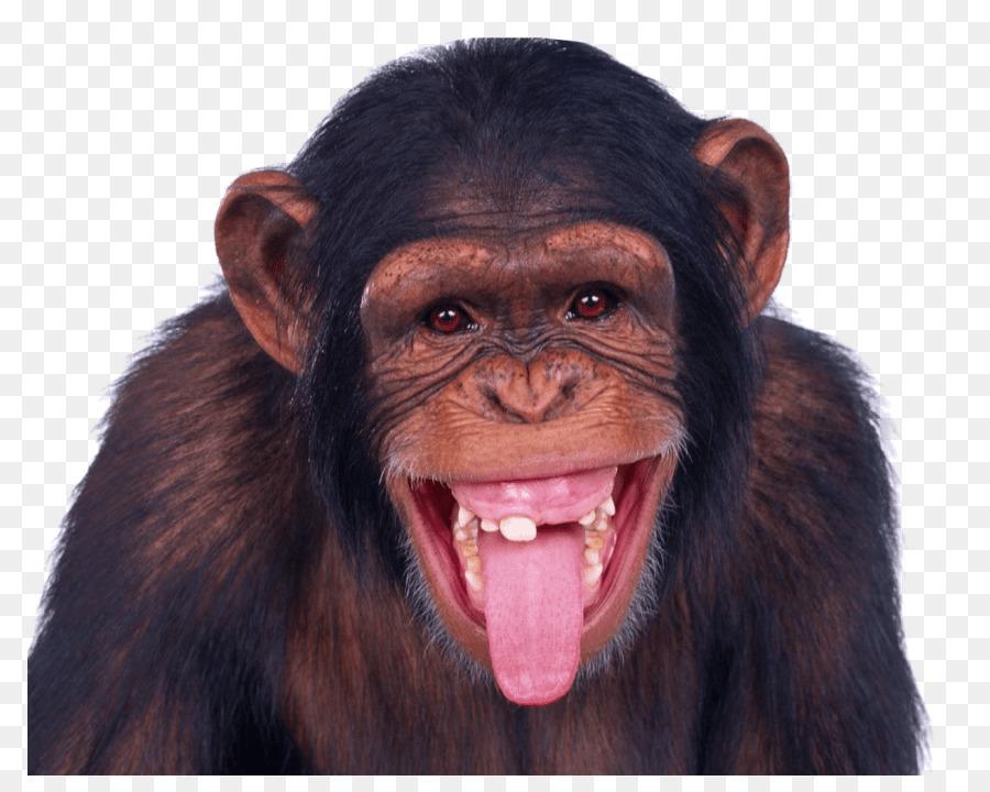 Descarga gratuita de Macaco, Mandrill, Mono Imágen de Png