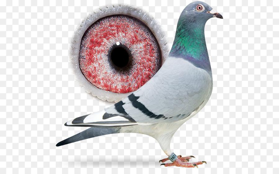 Descarga gratuita de Pico, Columbidae, Aves Imágen de Png