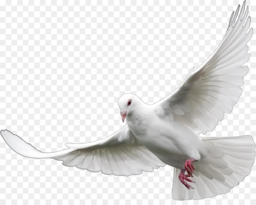 Descarga gratuita de Columbidae, Aves, Paloma Mensajera Imágen de Png
