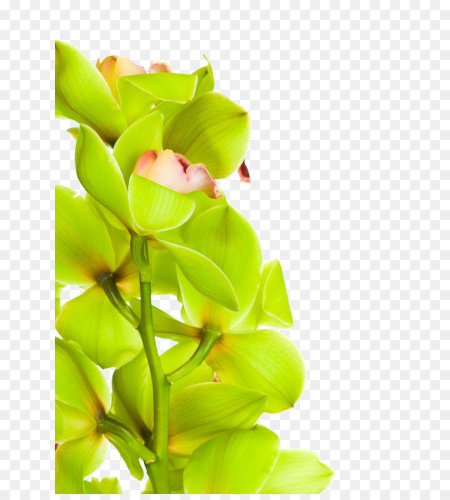Descarga gratuita de Las Orquídeas, La Polilla De Las Orquídeas, Las Orquídeas Cattleya Imágen de Png