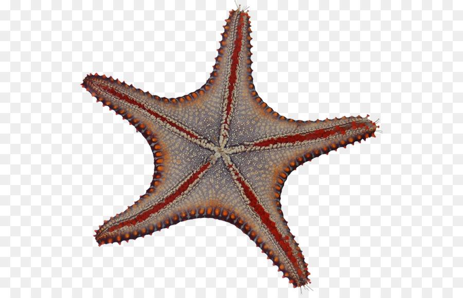 Estrella De Mar Los Equinodermos Microscopio Imagen Png Imagen