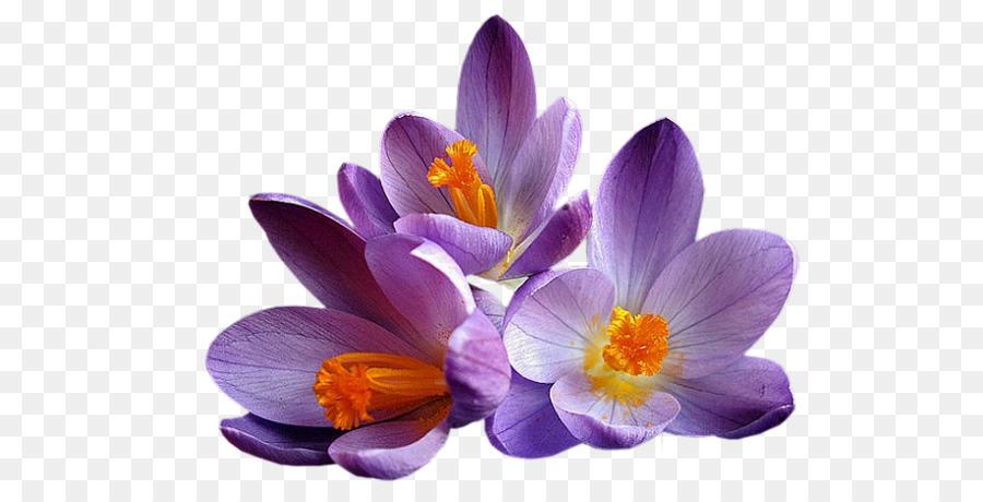 Descarga gratuita de Flor, Crocus, Lila Imágen de Png