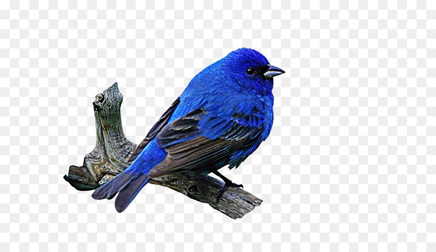 Descarga gratuita de Aves, Azul, La Larga Cola De Palabras Clave Imágen de Png