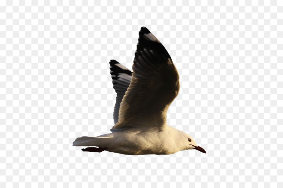 Descarga gratuita de Aves, Ganso, Las Gaviotas Imágen de Png