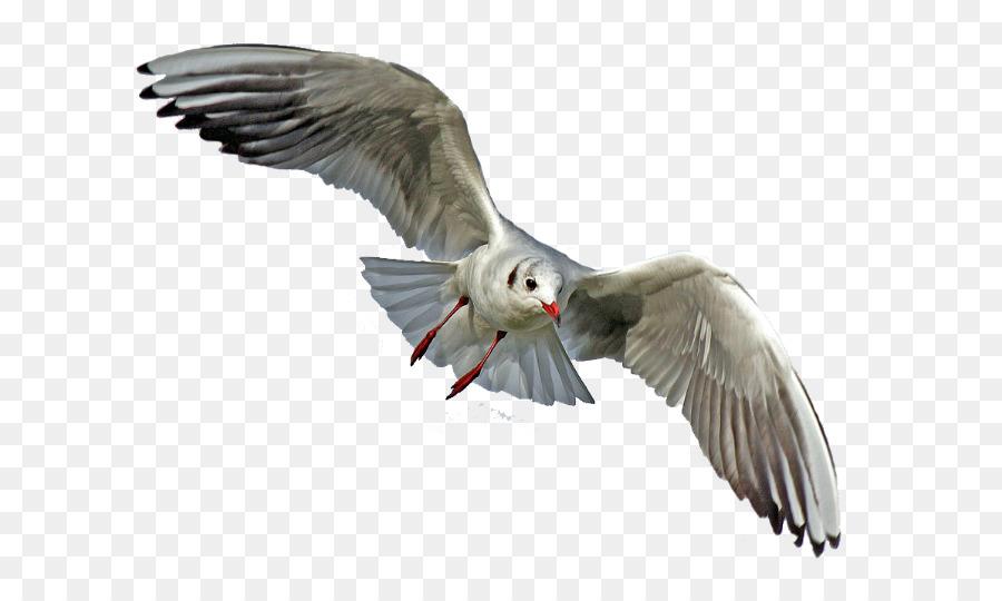 Descarga gratuita de Las Gaviotas, Aves, Fondo De Escritorio Imágen de Png