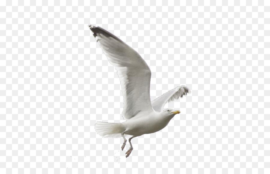 Descarga gratuita de Las Gaviotas, Aves, Europea De La Gaviota Imágen de Png