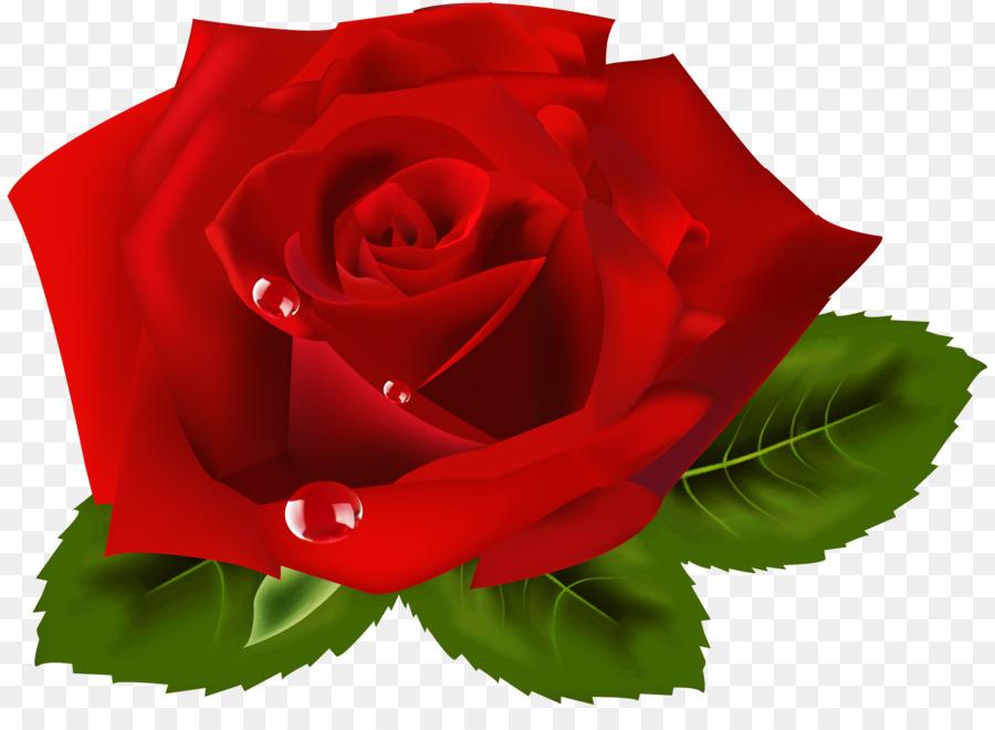 Descarga gratuita de Rosa, Las Rosas De Jardín, Fondo De Escritorio imágenes PNG