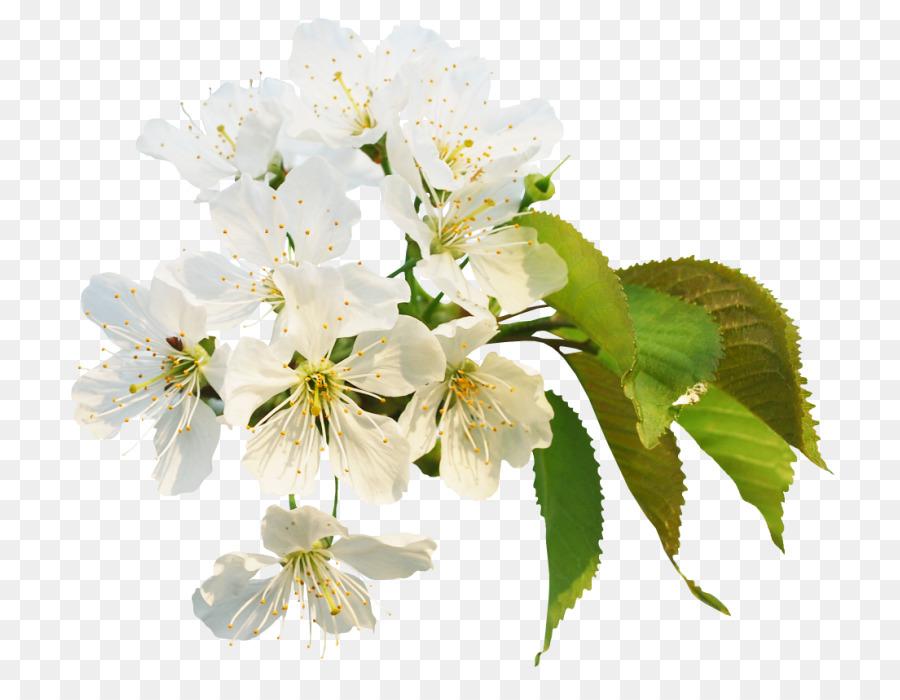 Descarga gratuita de De Los Cerezos En Flor, Flor, Pintura Imágen de Png