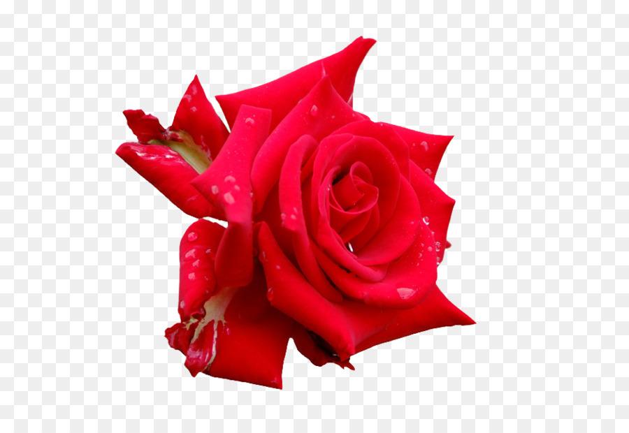 Descarga gratuita de Las Rosas De Jardín, Rosa, Las Flores Cortadas Imágen de Png