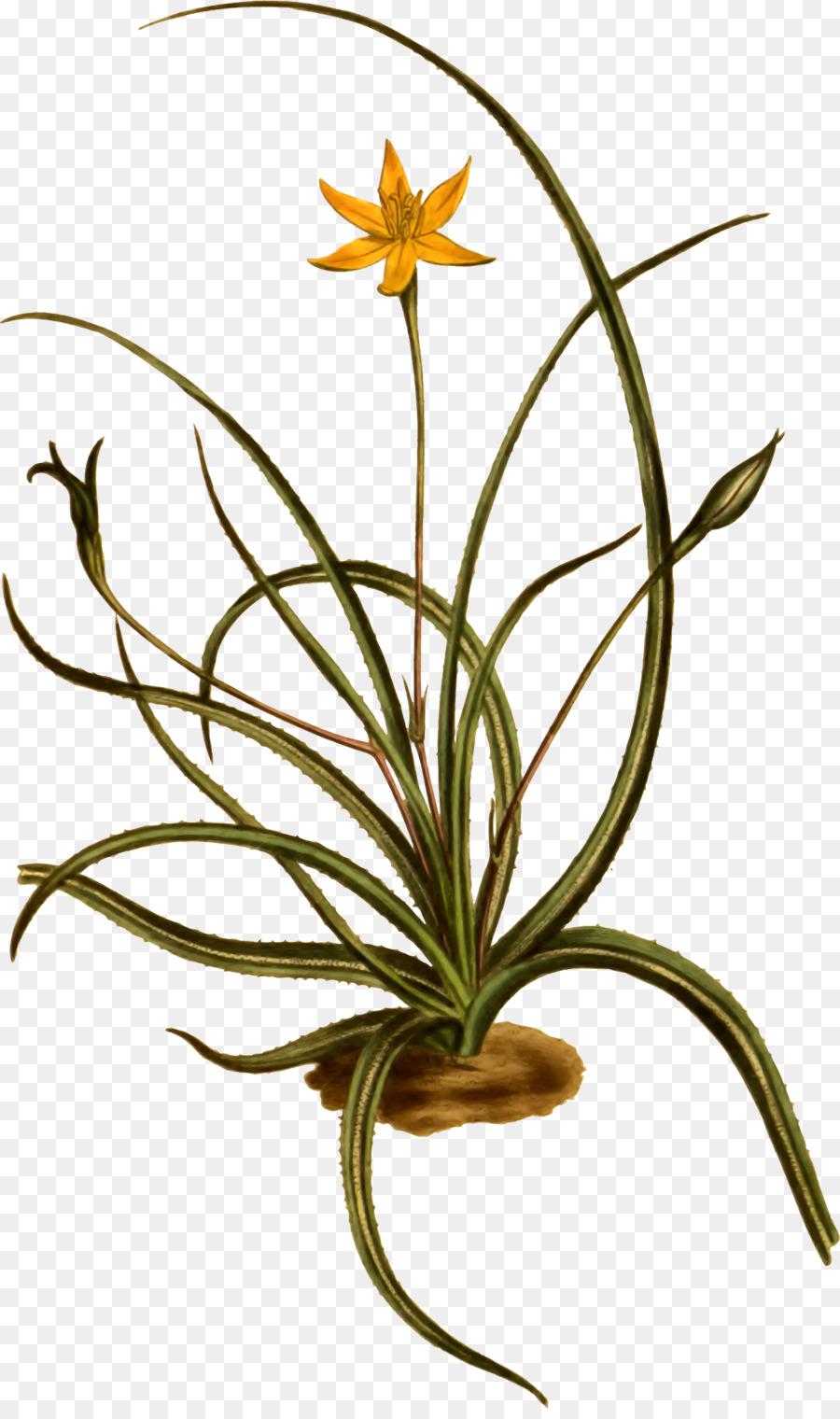 Descarga gratuita de La Floración De La Planta, Las Plantas, Hypoxis imágenes PNG