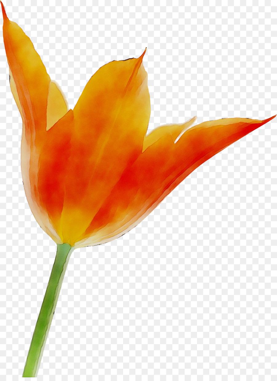 Descarga gratuita de Tulip, Tallo De La Planta, Orange Sa imágenes PNG