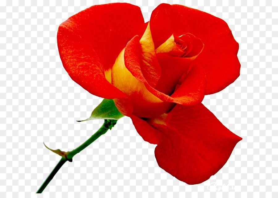 Descarga gratuita de Rosa Beach, Flor, Las Rosas De Jardín Imágen de Png