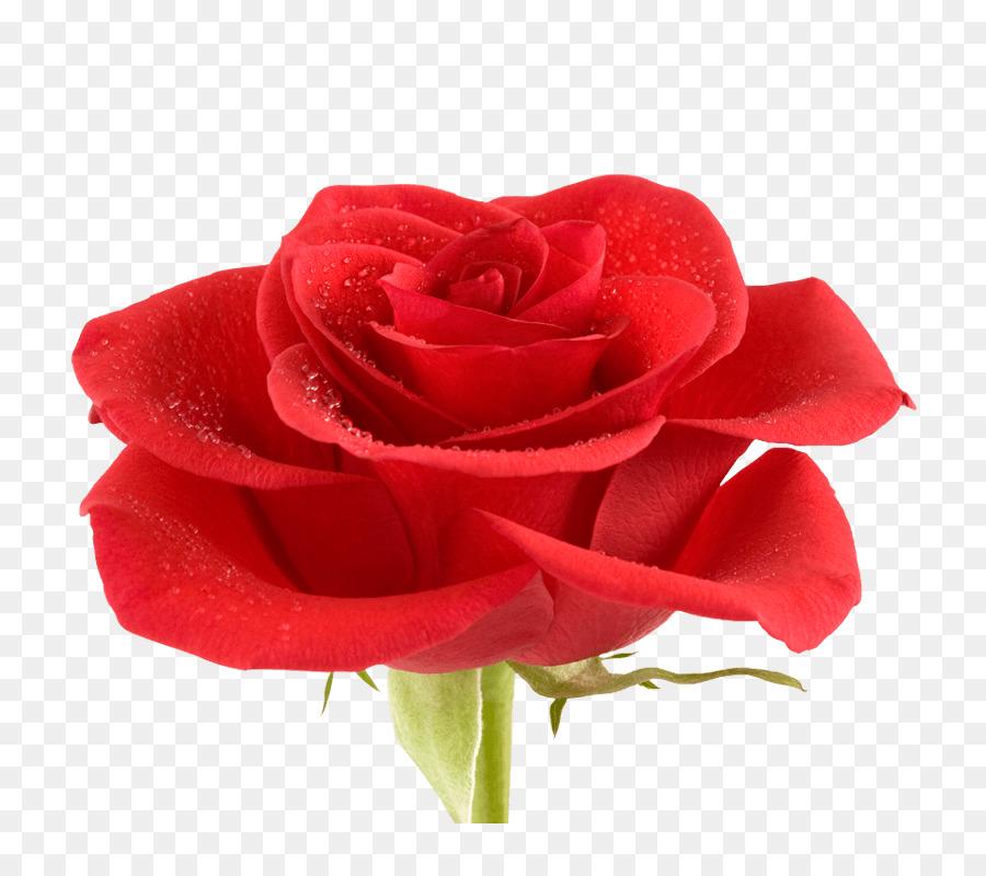 Descarga gratuita de Rosa Beach, Rojo, Flor Imágen de Png
