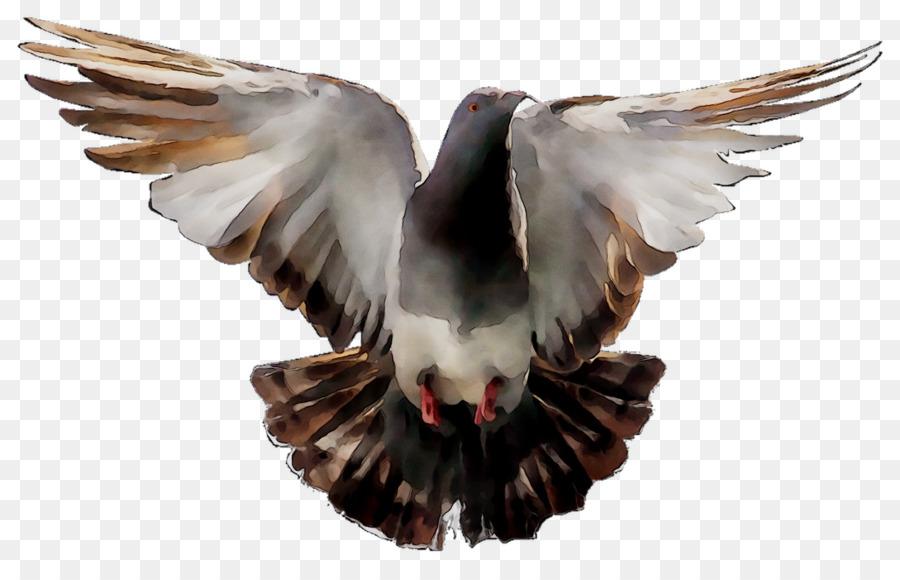 Descarga gratuita de Paloma Nacional, Aves, Fondo De Escritorio Imágen de Png