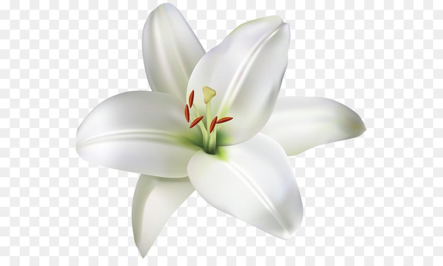 Descarga gratuita de Flor, Madonna Lily, Fondo De Escritorio Imágen de Png