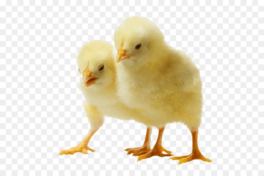 Descarga gratuita de Pollo, De Pollos De Engorde, Pollo Al Curry Imágen de Png