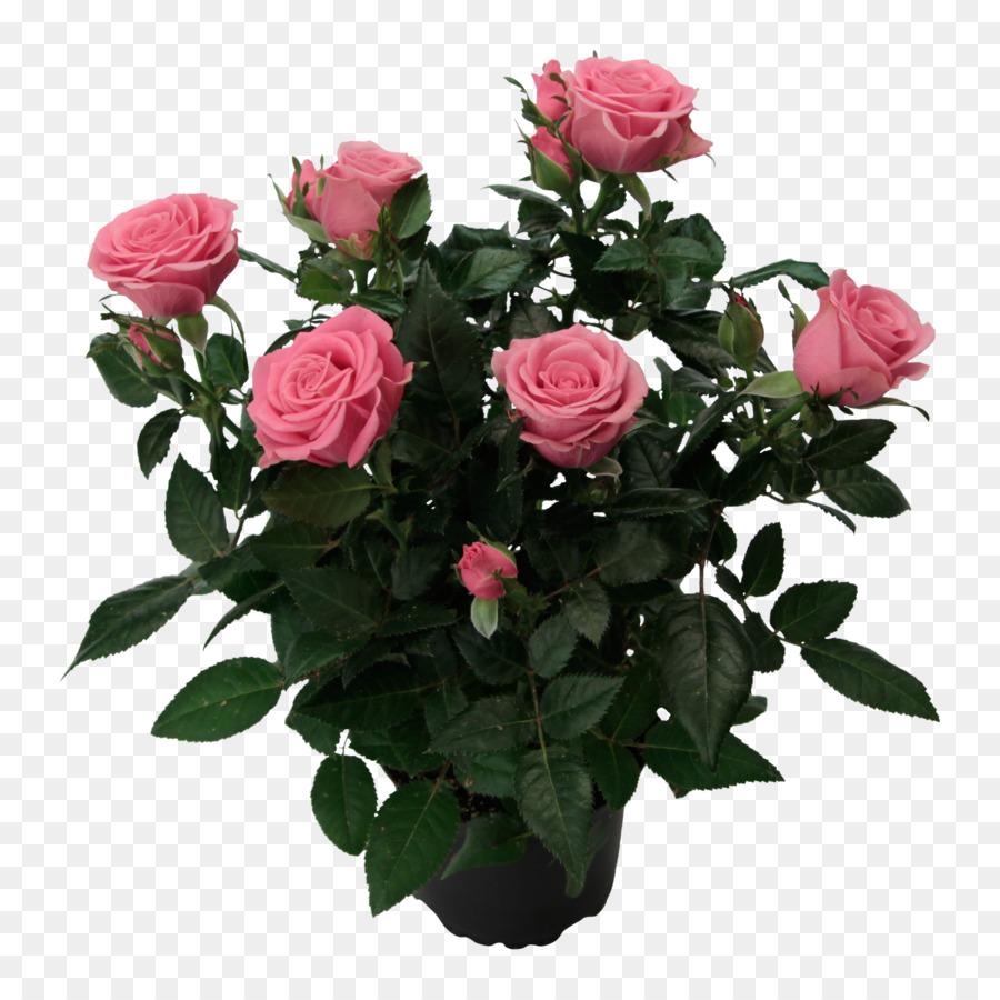 Descarga gratuita de Las Rosas De Jardín, Col Rosa, Floribunda Imágen de Png