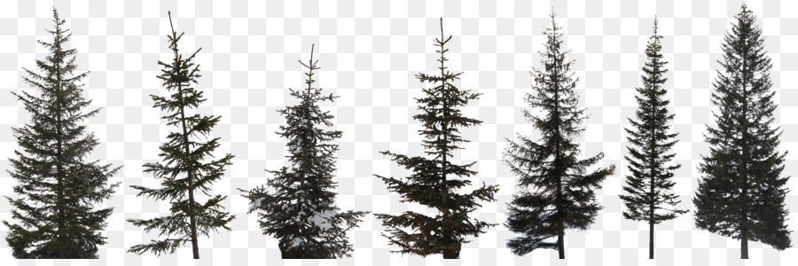 Descarga gratuita de árbol, Las Coníferas, Pino Silvestre Imágen de Png