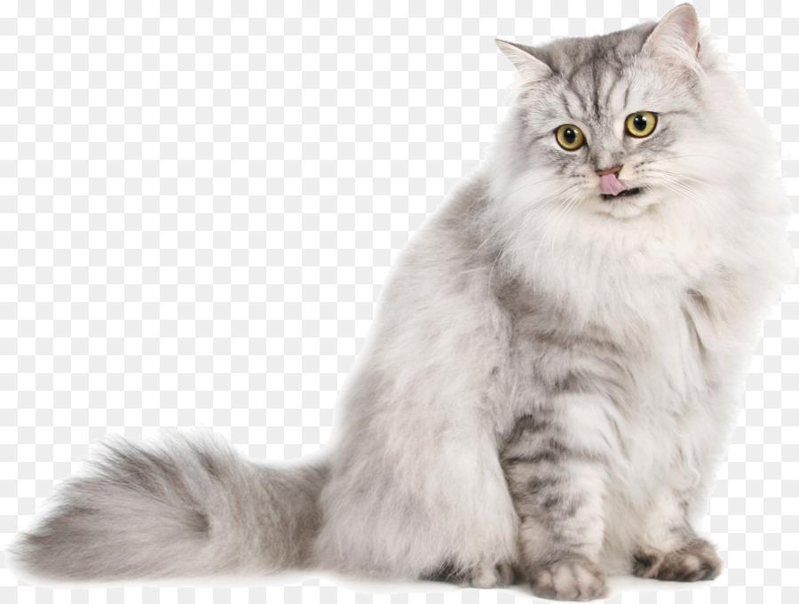 Descarga gratuita de Gato Siberiano, Gato Persa, Ragdoll imágenes PNG