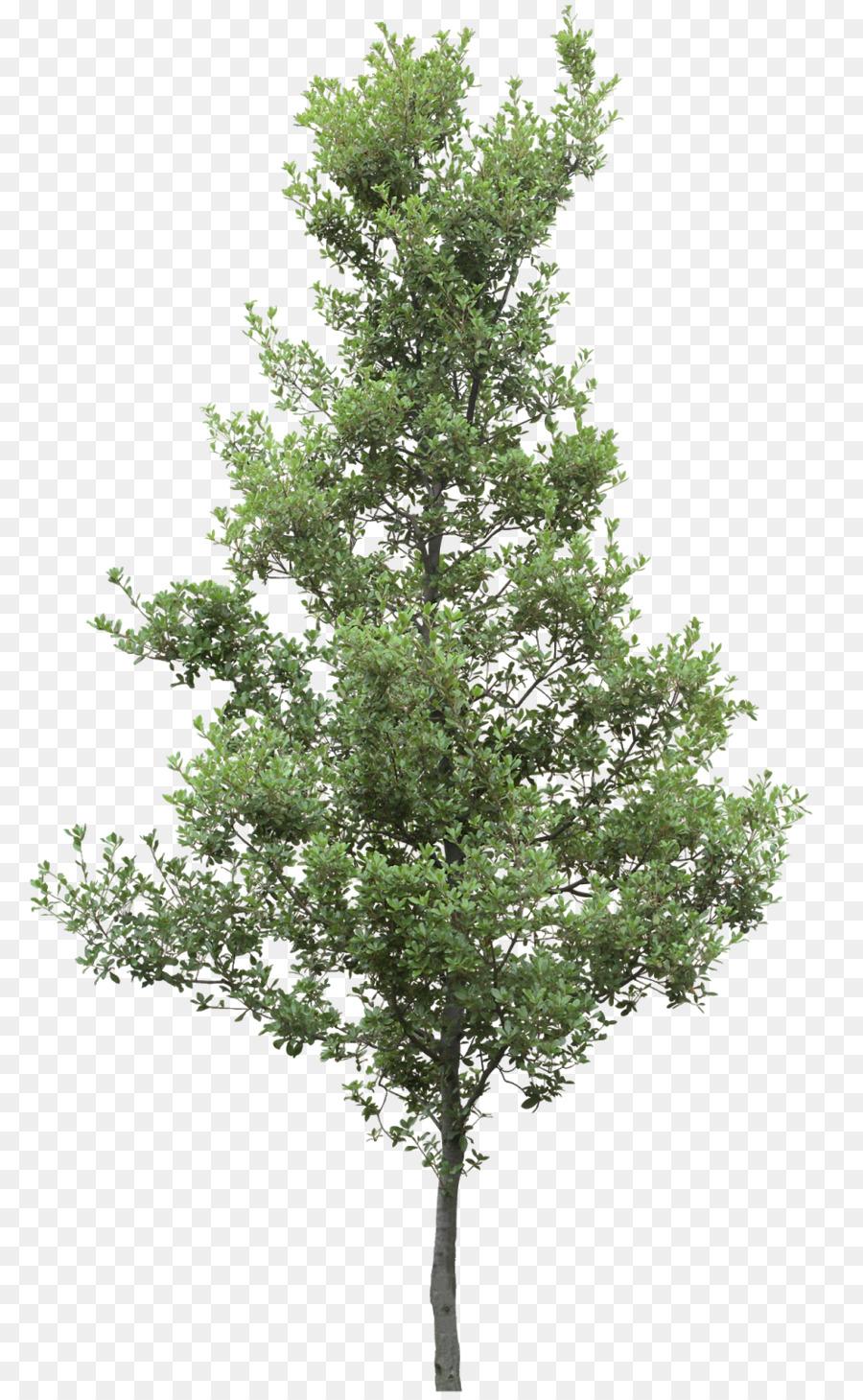 Descarga gratuita de árbol, Las Plantas, Alerce Imágen de Png