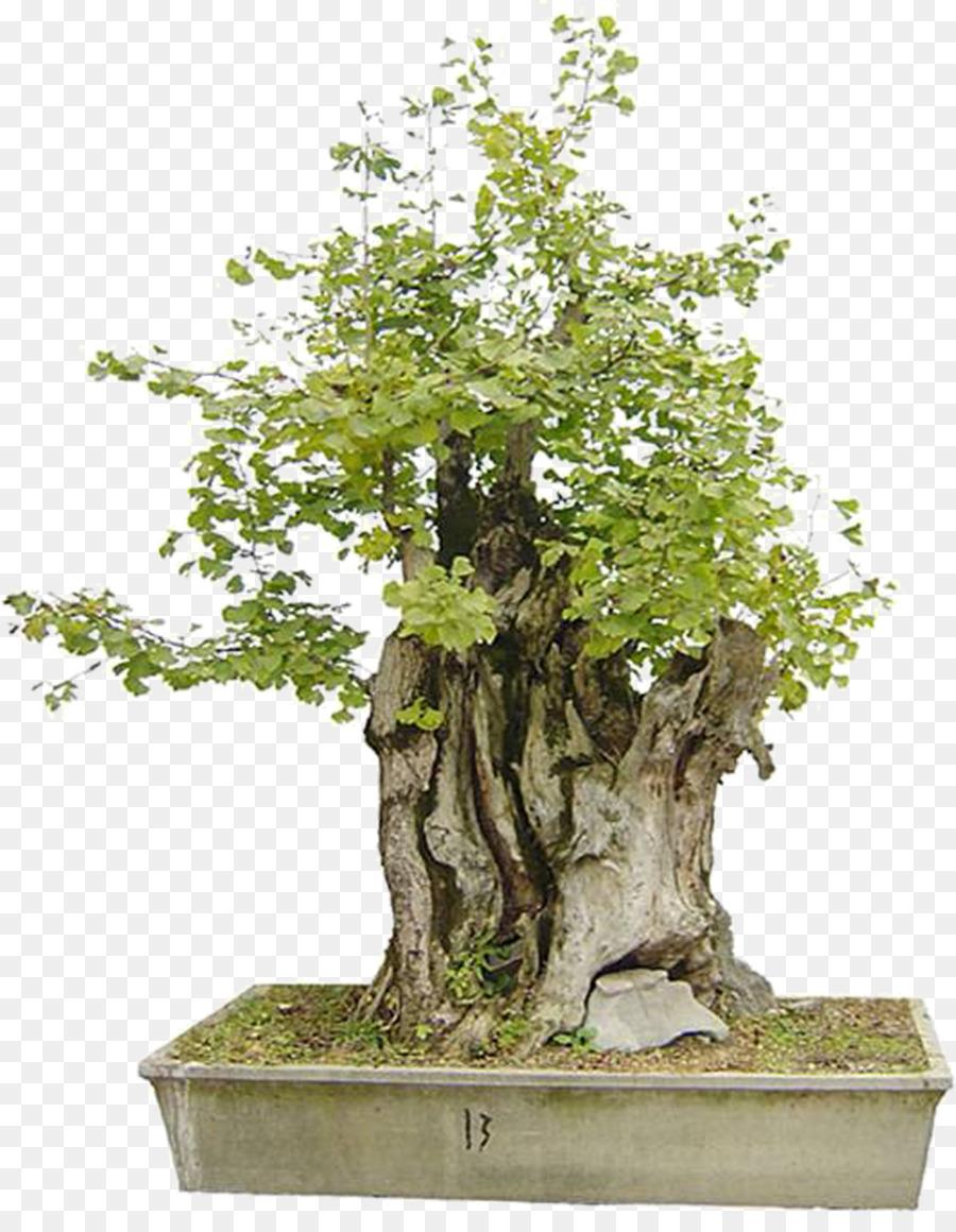 Descarga gratuita de Bonsai, árbol, Maceta Imágen de Png