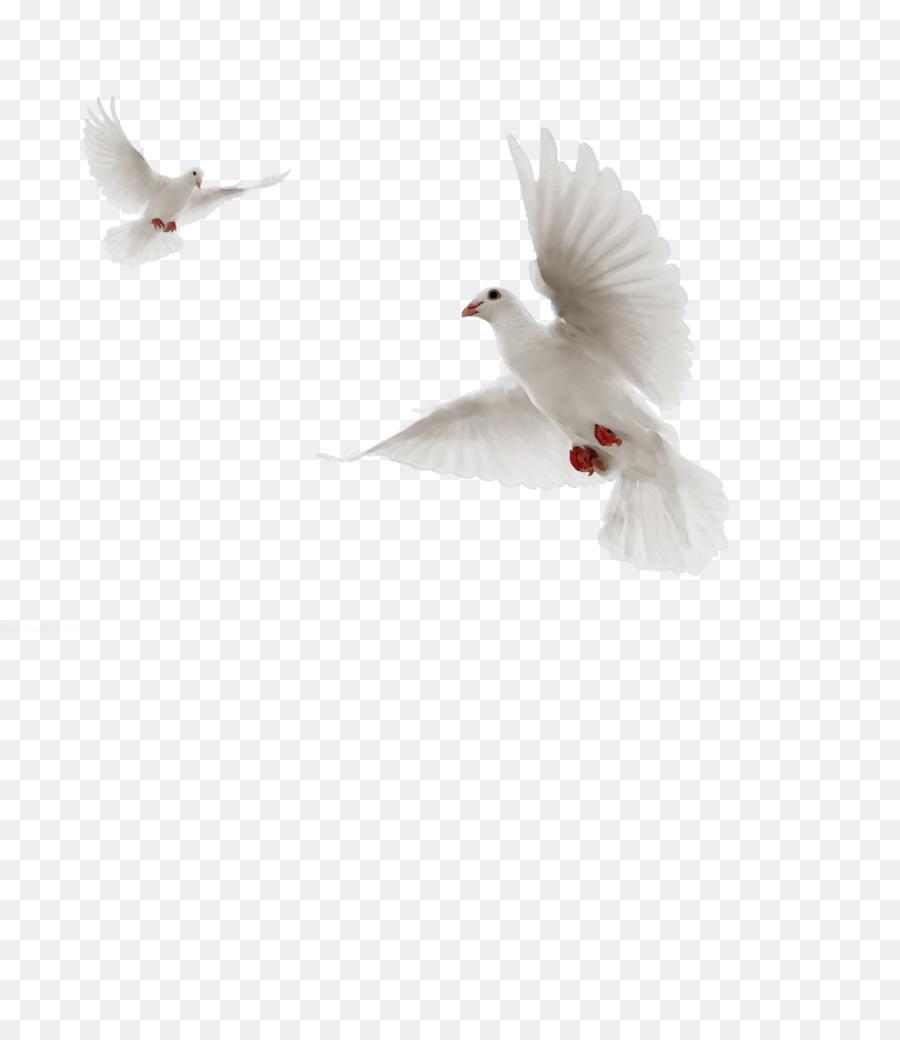 Descarga gratuita de Las Palomas Y Las Palomas, Aves, Pico Imágen de Png