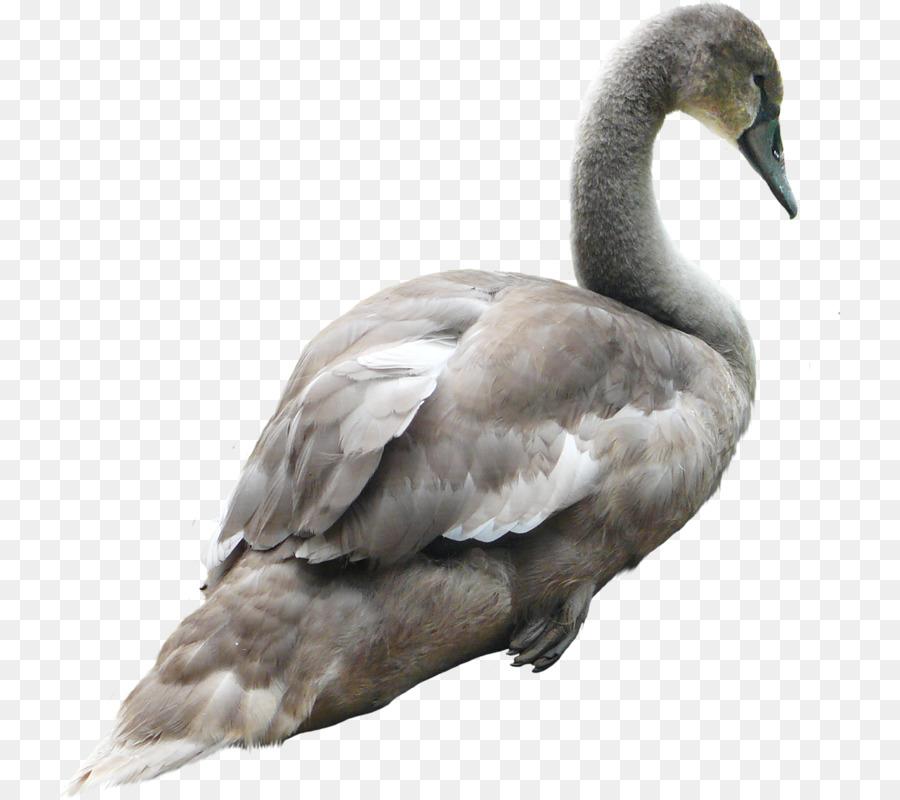 Descarga gratuita de Grey Goose, Los Cisnes, Ganso imágenes PNG