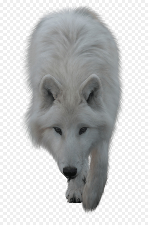 Descarga gratuita de El Lobo ártico, Perro, Paquete De Imágen de Png