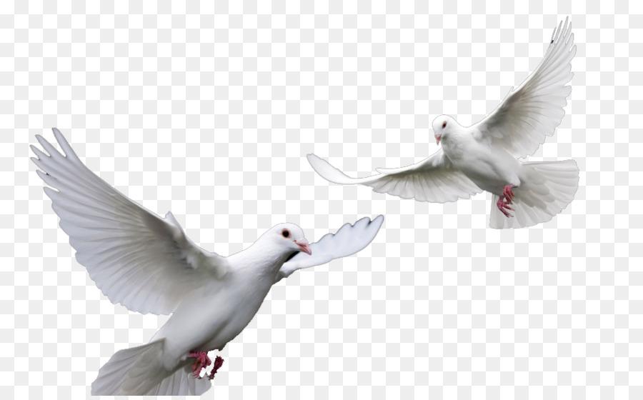 Descarga gratuita de Paloma Mensajera, Aves, Carreras De Homero Imágen de Png